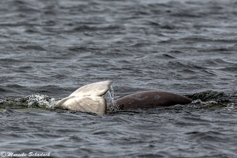 Die Beluga Wale der Solowezki-Inseln