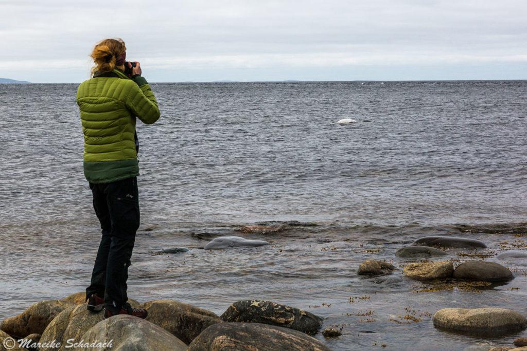 Walbeobachtung von Land am Beluga Kap, Groß-Solowezki, Russland