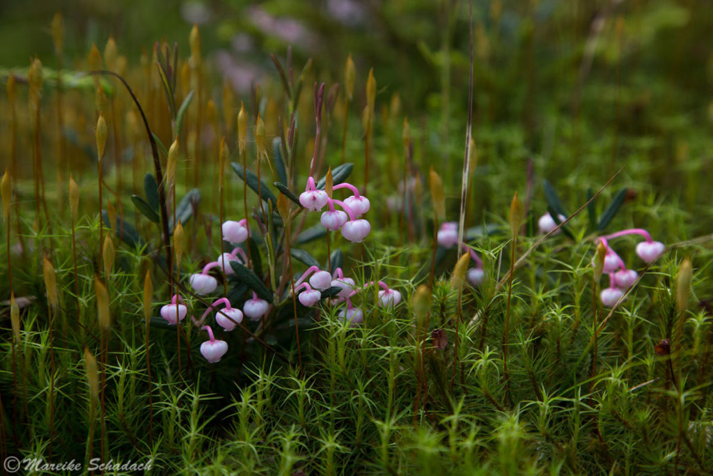 Rosmarinheide (Andromeda polifolia) - Achtung giftig!