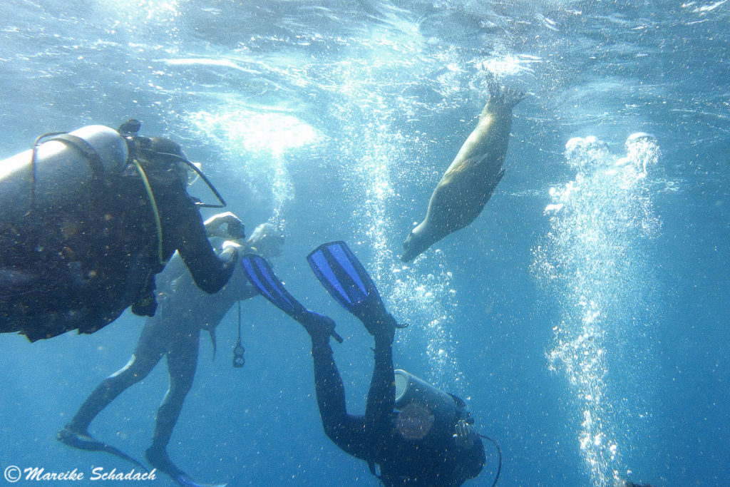 Tauchen mit den Seelöwen ist ein Highlight in La Paz