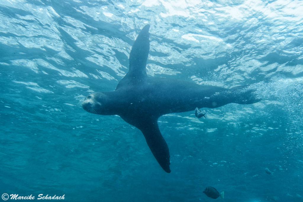 Tauchen mit den Seelöwen ist ein Highlight von La Paz