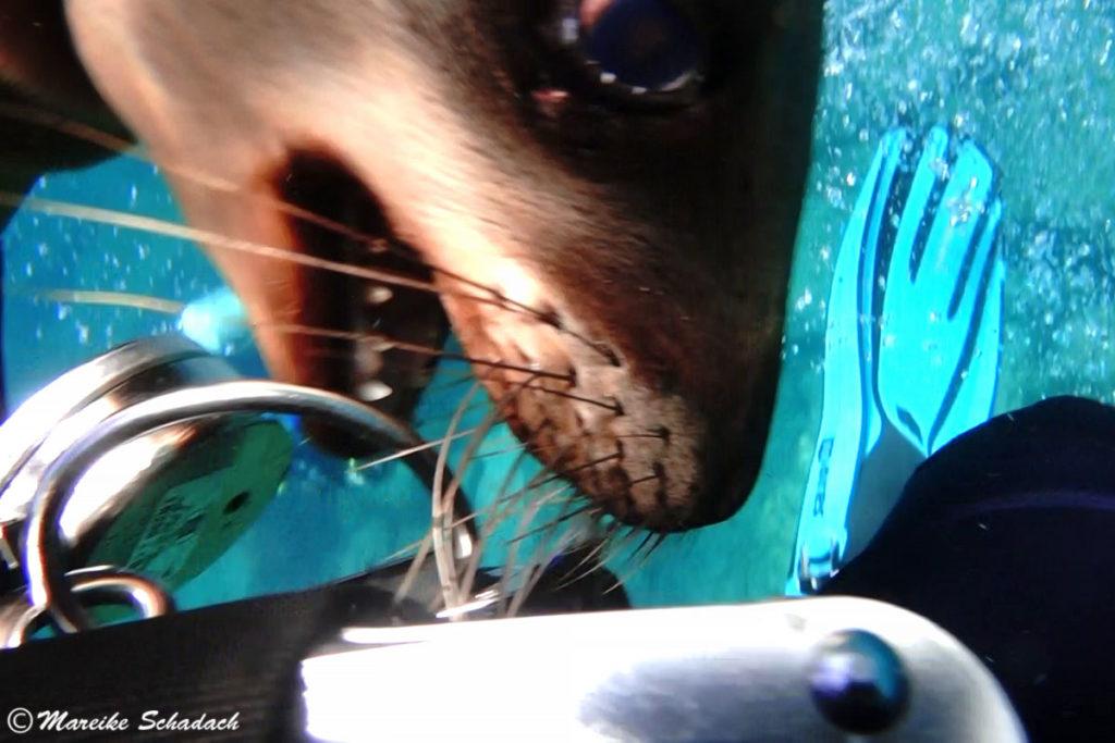 Tauchen mit den verspielten jungen Seelöwen La Paz