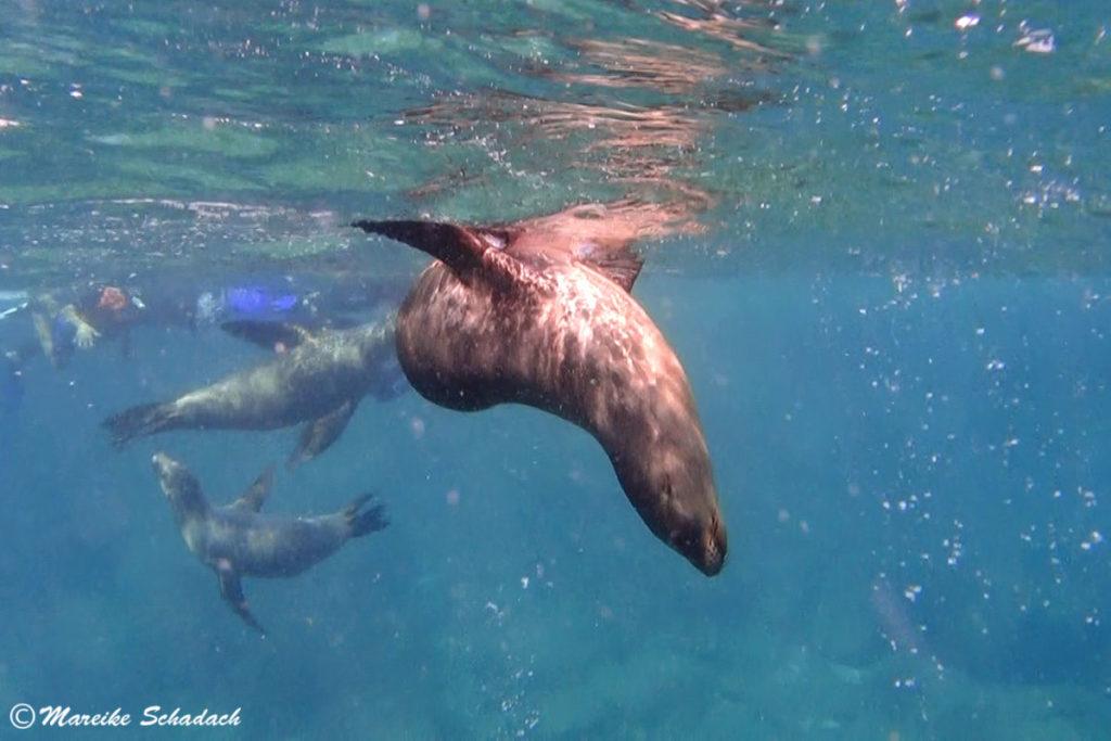 Eni tierisches vergnügen  - Tauchen  mit Seelöwen bei  La Paz