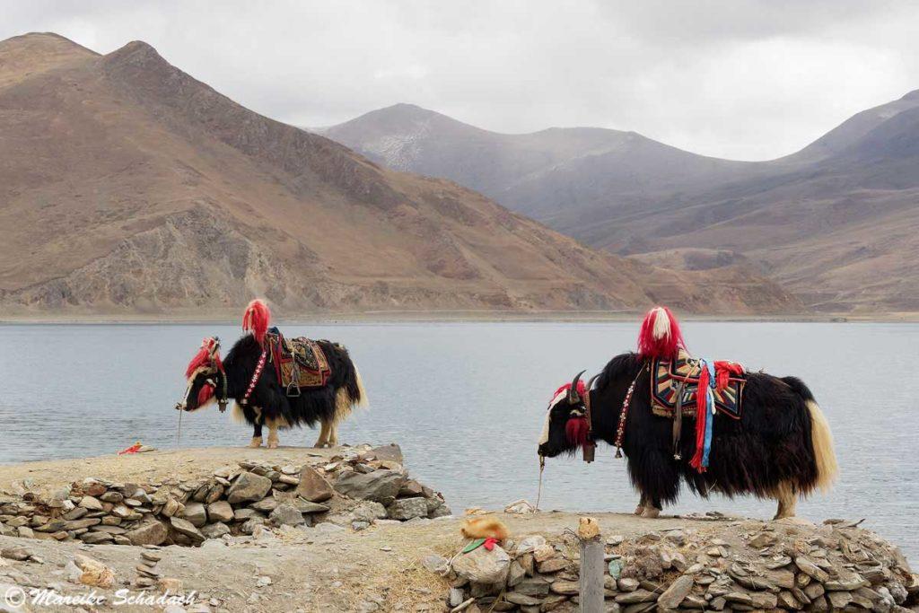 Yaks vor dem heiligen See Yamdrok-Tso