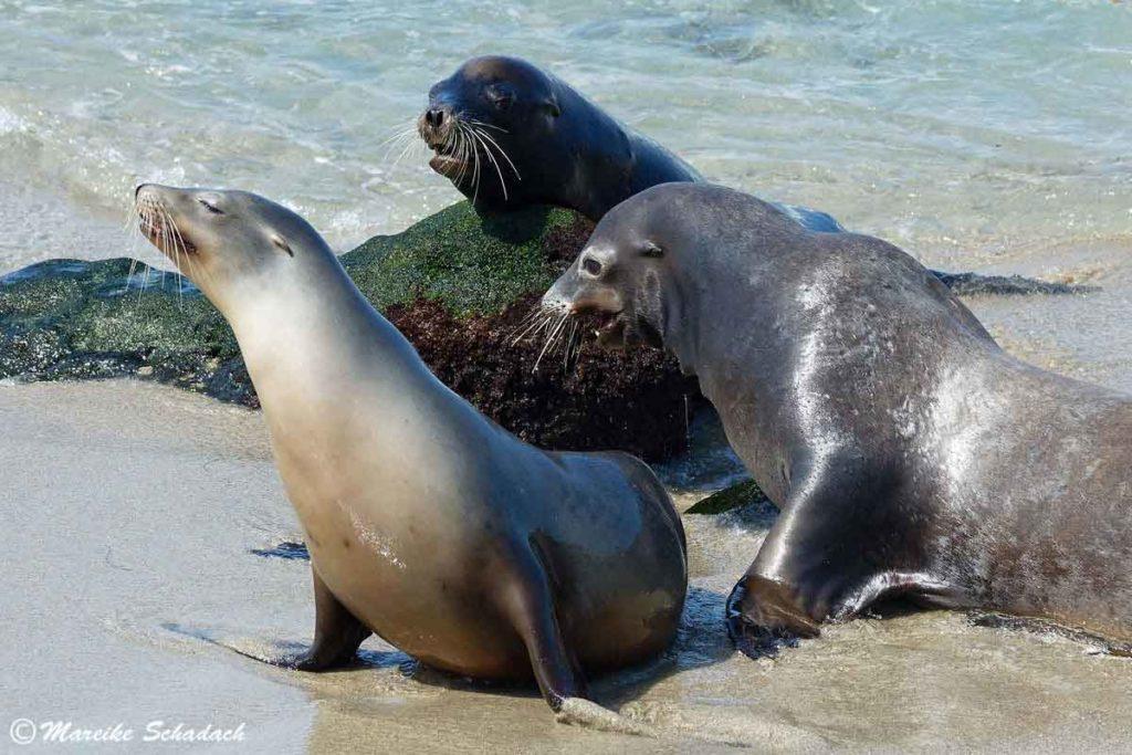 zwei Seelöwen Bullen mit Weibchen