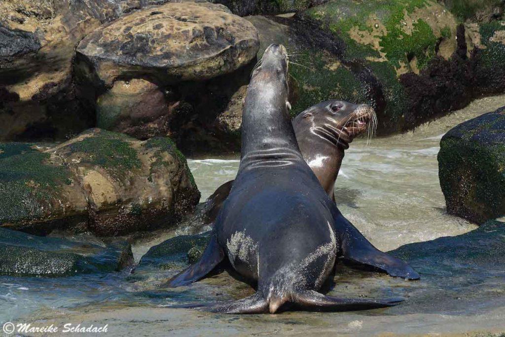 Machtkampf zwischen zwei Seelöwen