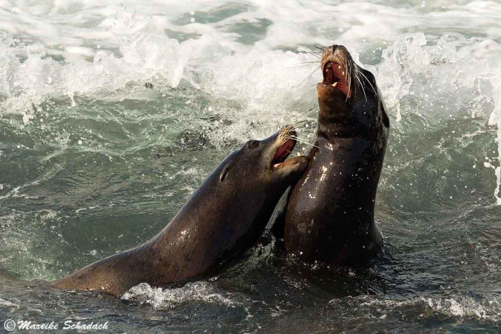 Zwei kämpfende Seelöwen vor dem Shell Beach