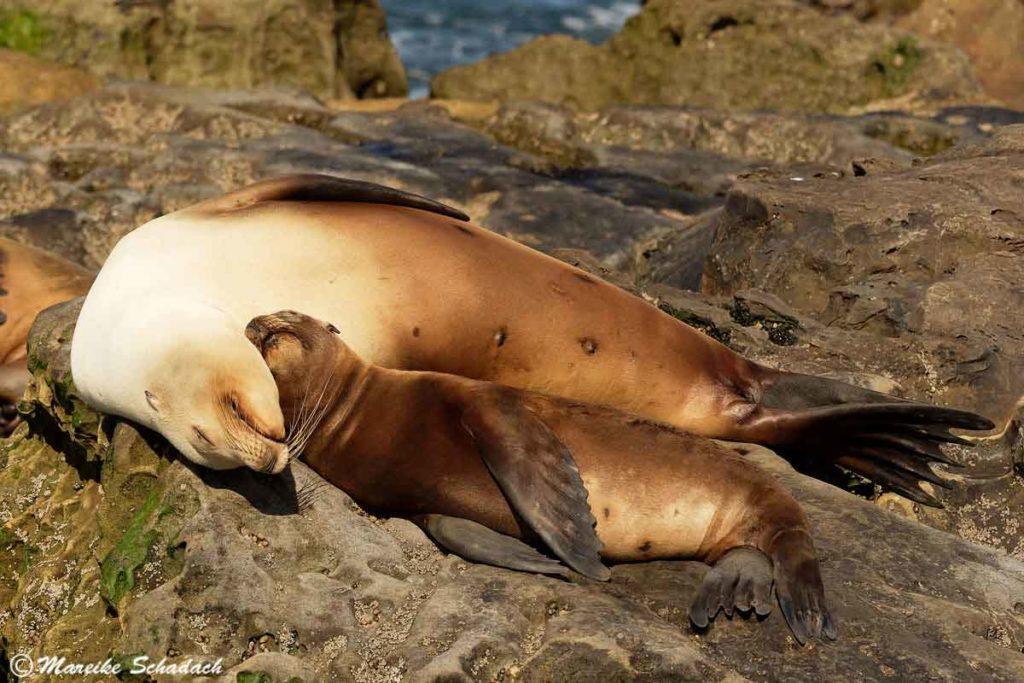 Junger Seelöwe mit Mutter