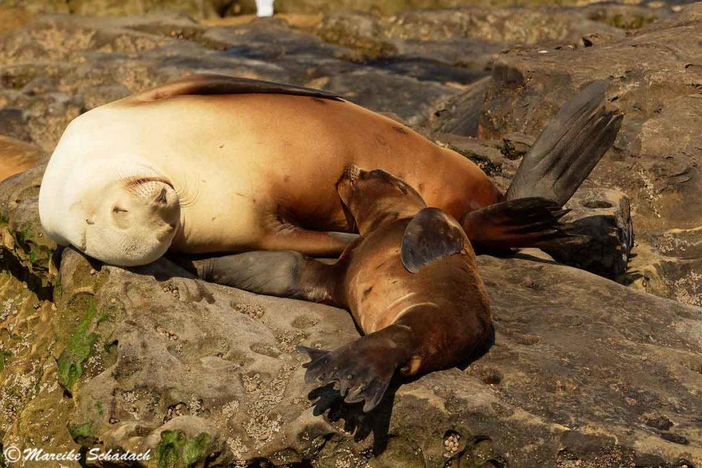 Saugender junger Seelöwe in La Jolla