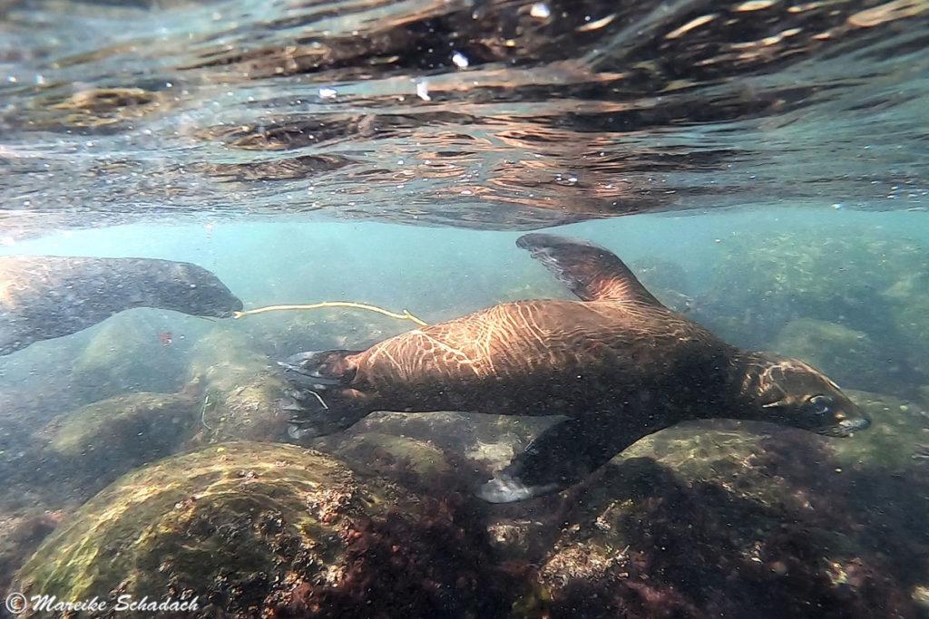 Spielende Seelöwen in La Jolla Cove -