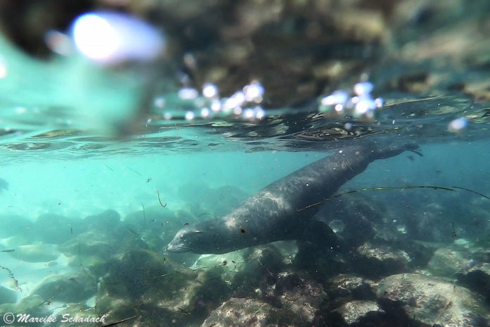 Seelöwen von La Jolla - Tipps fürs Beobachten und Schnorcheln
