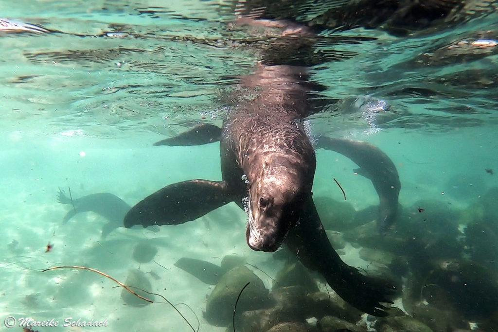 Seelöwe in La Jolla