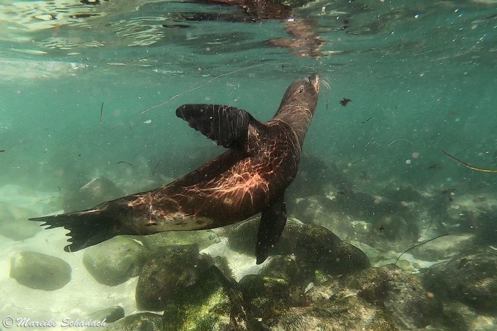 Schnorcheln mit Seelöwen in La Jolla
