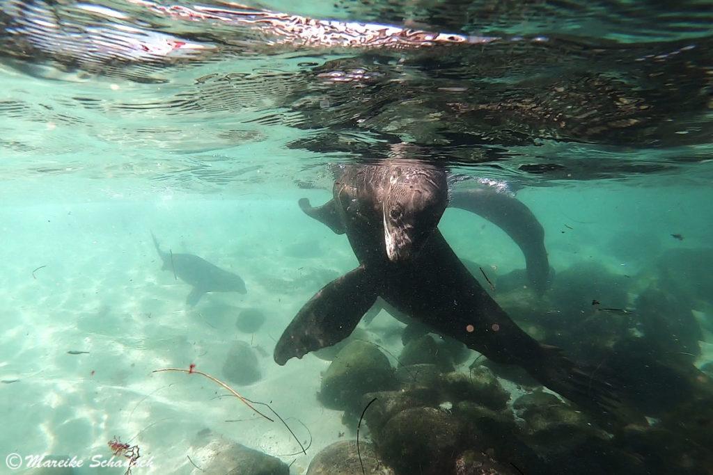 Seelöwen in La Jolla Fototipps für Unterwasserbilder