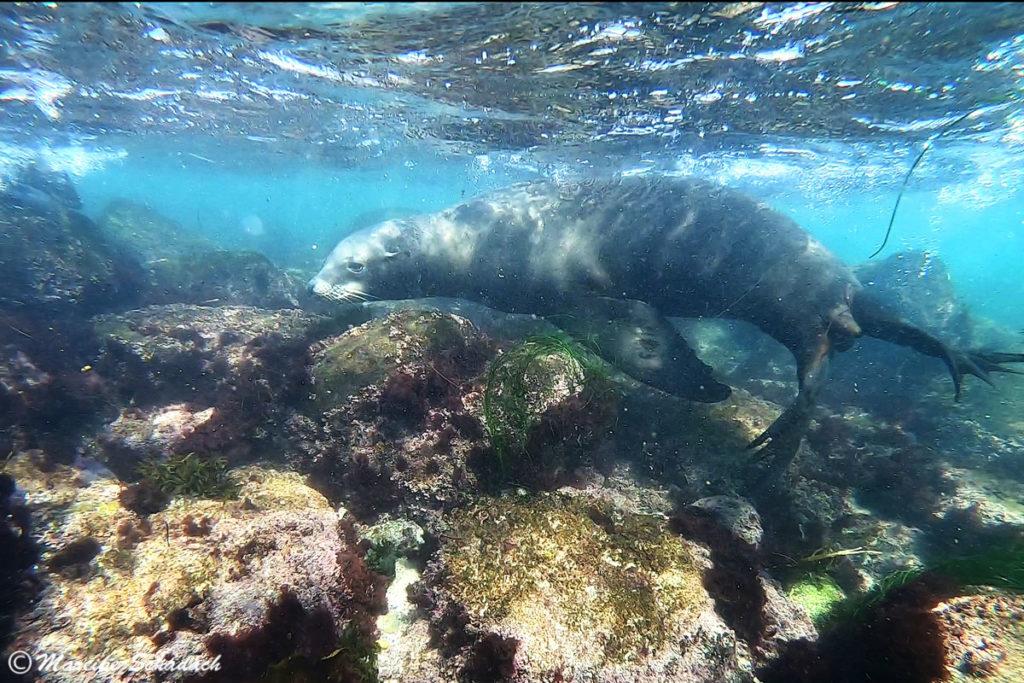 Seelöwe in der La Jolla Cove