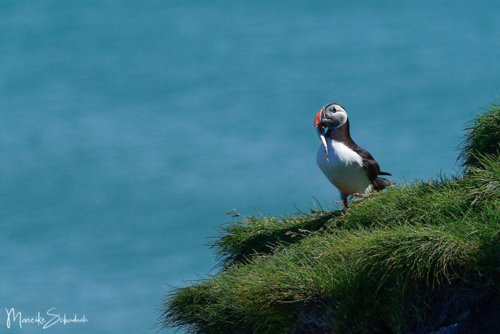 Puffin (Papageientaucher) mit Sandaal bei Ingólfshöfði - Island