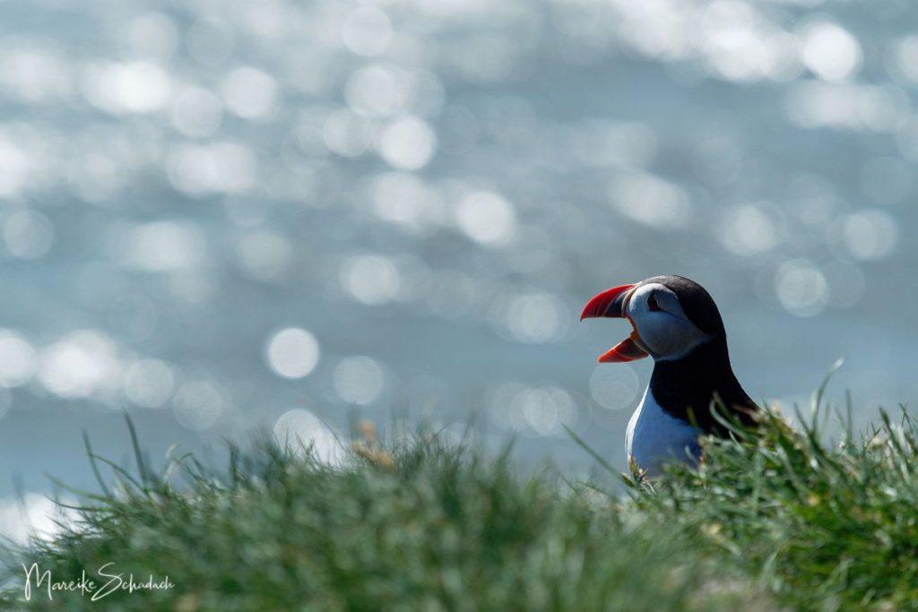 Puffin (Papageientaucher) bei Ingólfshöfði - Island