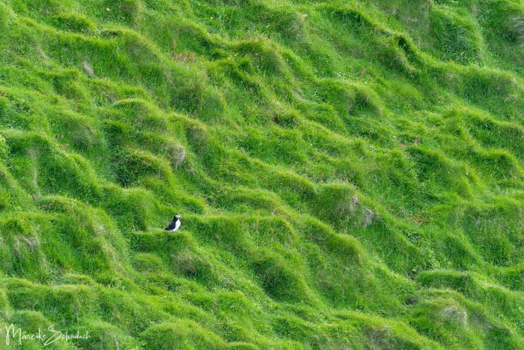 Puffin / Papageientaucher vor den Bruthöhlen auf den Westmännerinseln