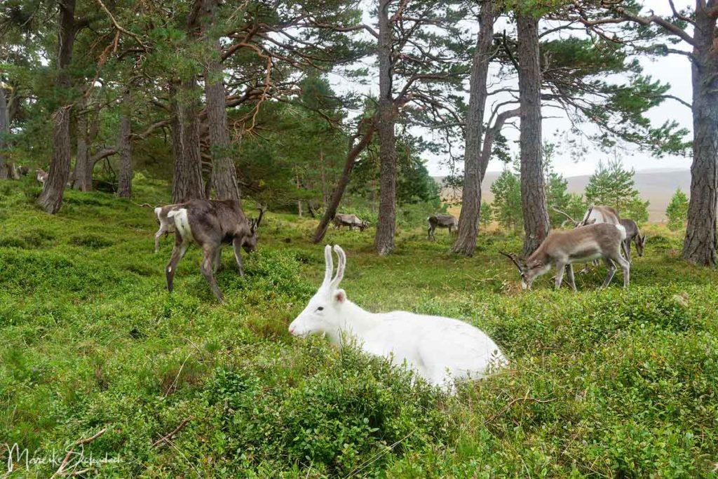 Rentiere der Cairngorms  - Reindeer Scotland
