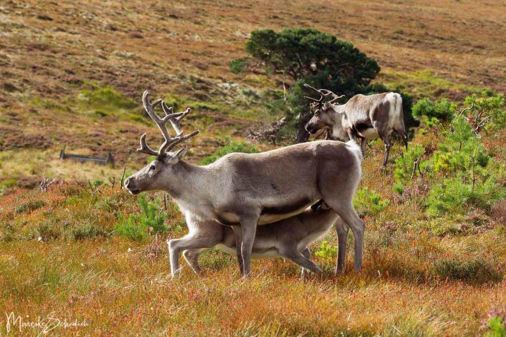 Rentiere der Cairngorms in Schottland  - Reindeer Scotland