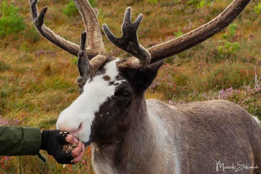 Rentiere der Cairngorms in Schottland