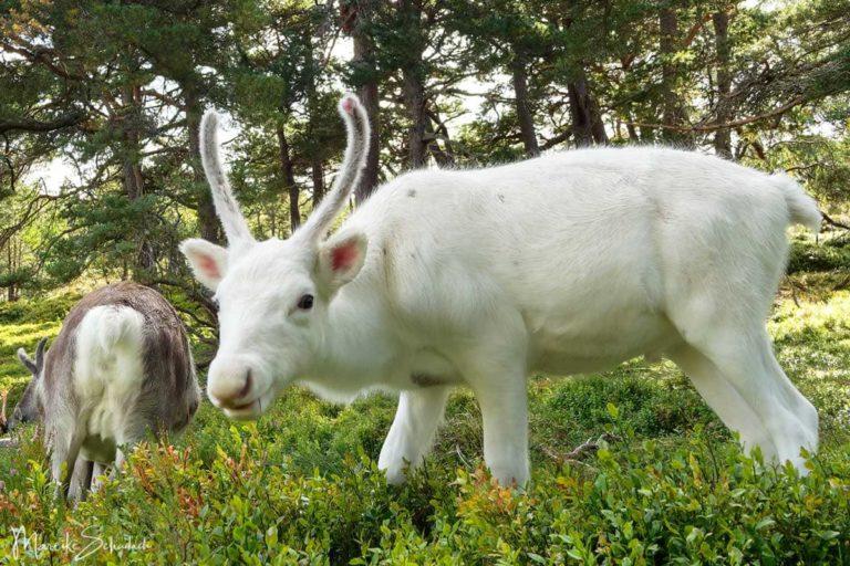Wildlife in Schottland - die Rentiere der Cairngorms