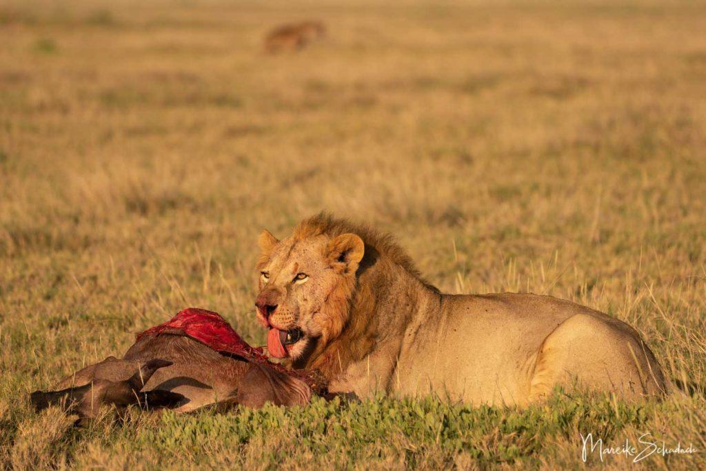 Löwe Amboseli park