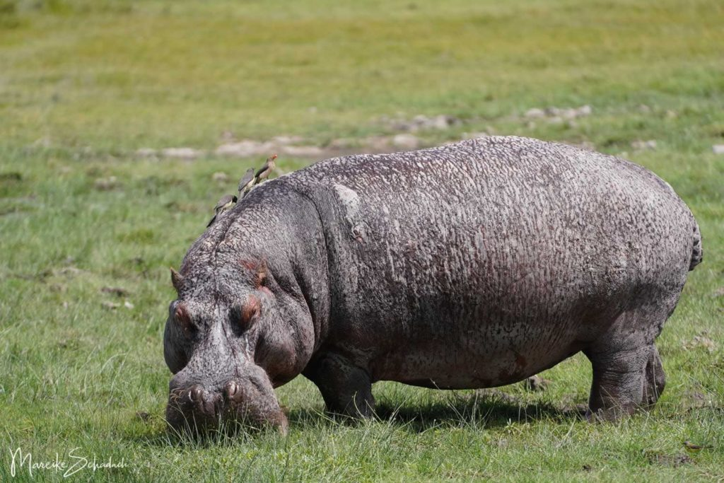 Amboseli Flusspferd