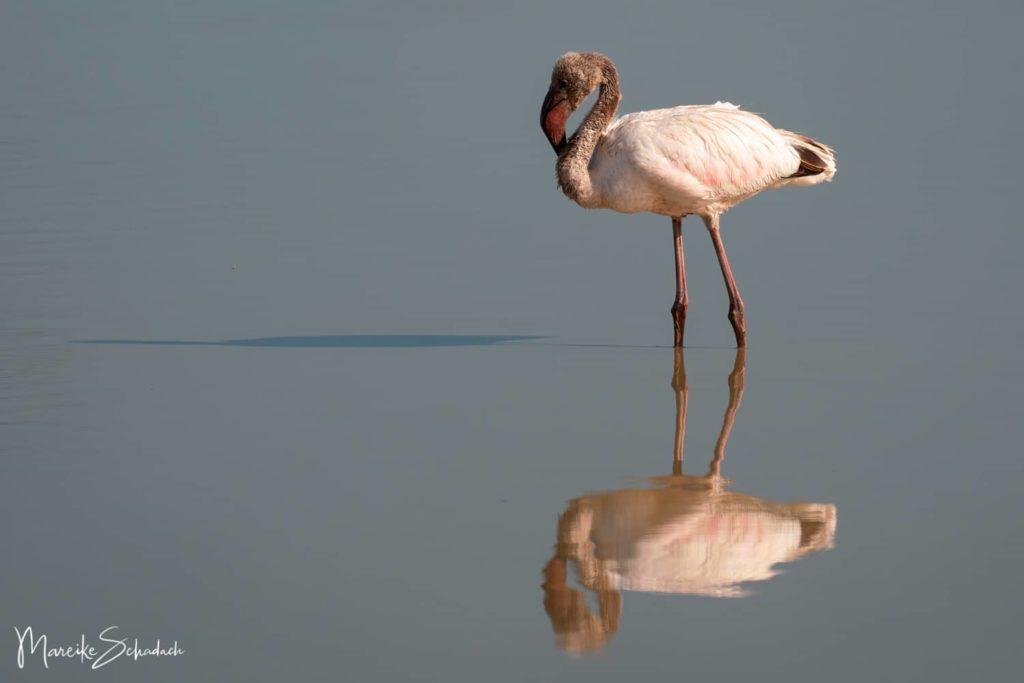 Flamingo im zentralen Sumpf des Amboseli Parks.