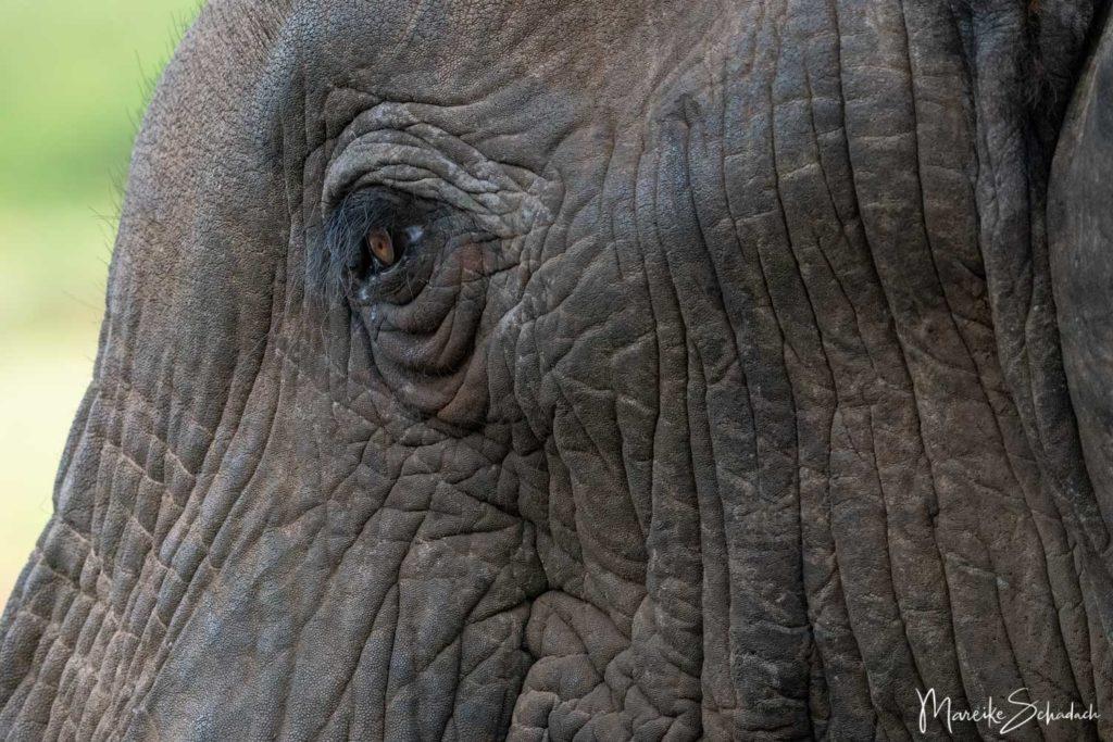 Elefant im Amboseli Park