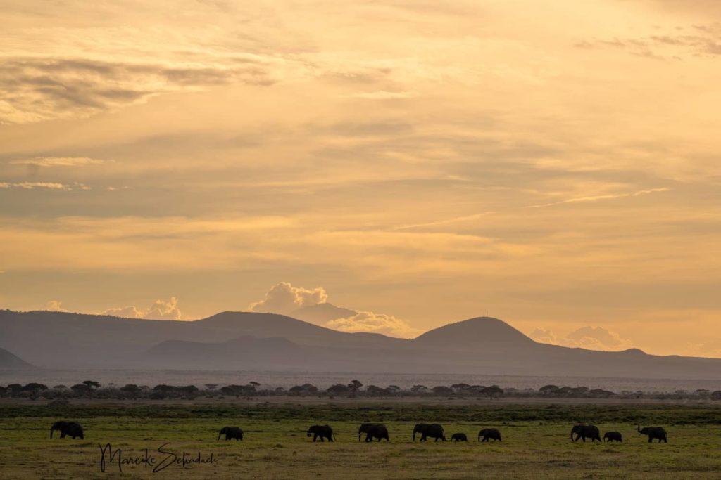 Elefanten bei einer Safari im Amboseli Park