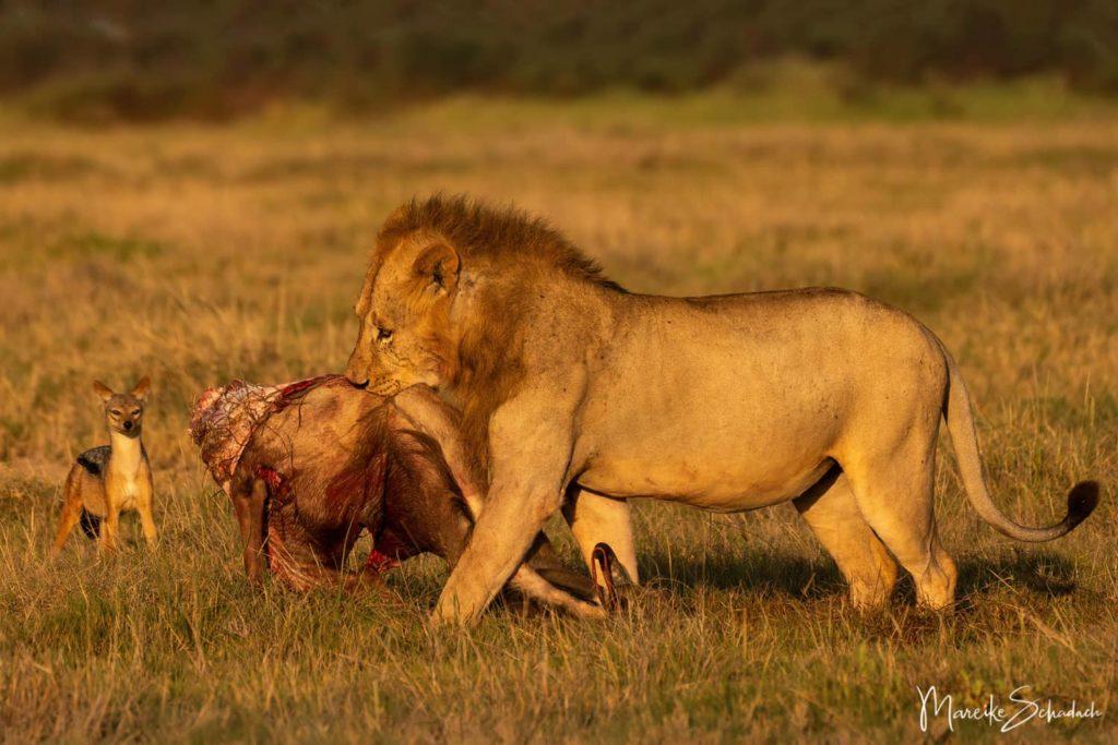 Löwe mit erlegtem Gnu im Amboseli Park