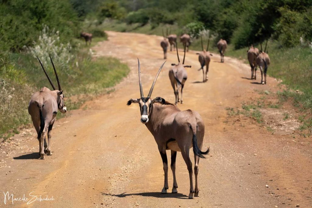Oryx im Tsavo Nationalpark Kenia