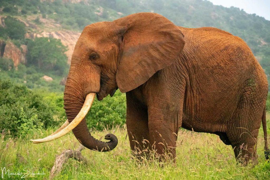 Rote Elefanten im Tsavo Nationalpark Kenia