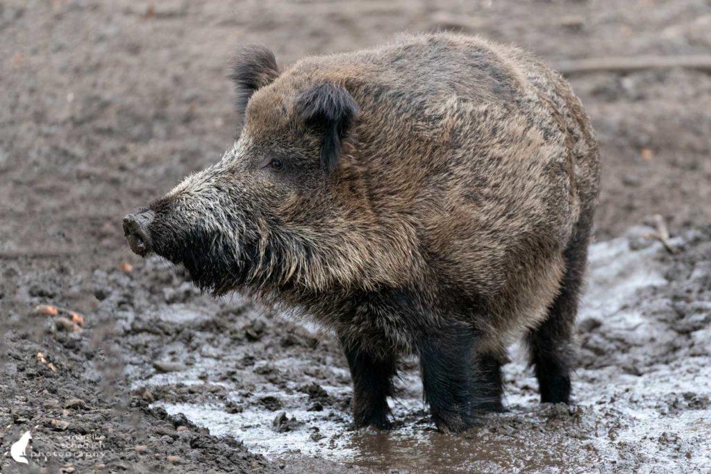 Wildschwein im Wildgehege Tegeler Forst