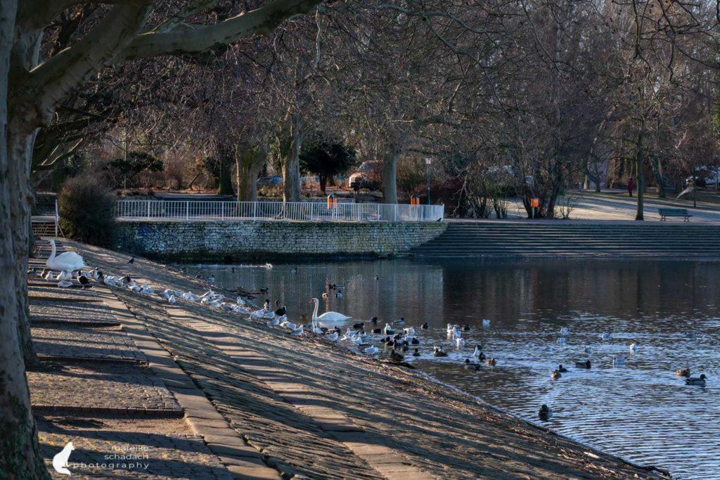 Wasservögel am Tegeler See - Berlin Greenwichpromenade