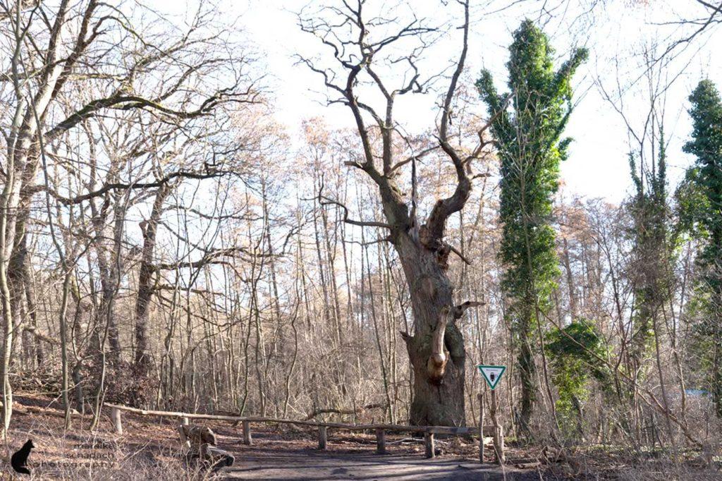 Die Dicke Marie ist der älteste Baum Berlins